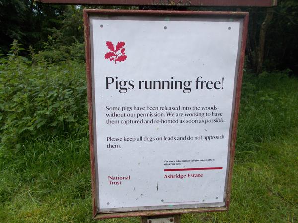 pigs_running_free