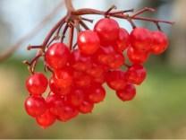 guelder-rose-berries-wtml-richard-becker