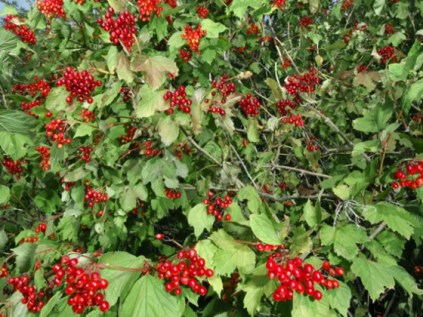 guelder-rose-shrub-paul-sterry-npl