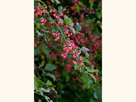 spindle-flowers-2