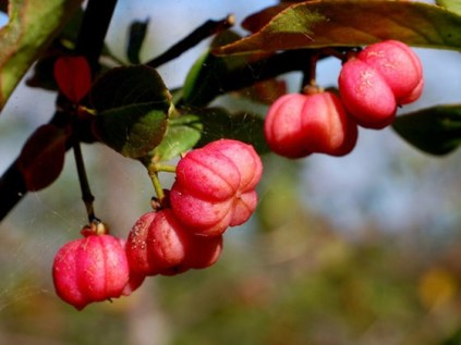 spindle-flowers