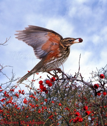 Redwing (Turdus iliacus) eating hawthorn berries
