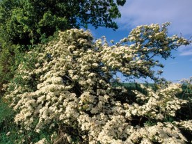 hawthorn-full-shrub
