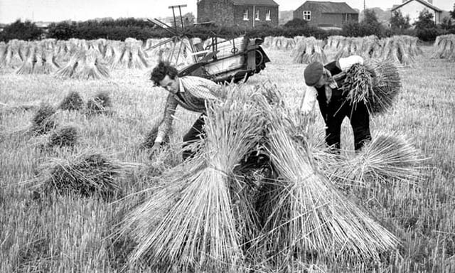 harvest time 1964