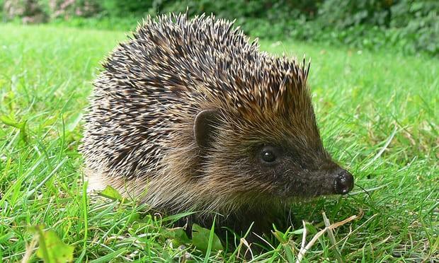 ashridge hedgehog