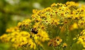 ashridge ragwort