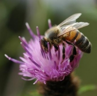 honeybee_web_200_197