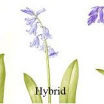 ashridge bluebell types